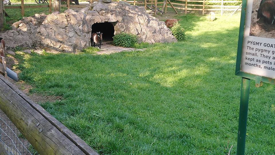 A baby pygmy goat looking out of a cave at Mudchute park & farm